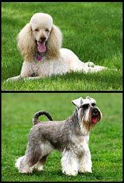schnoodles parents - schnauzer poodle cross