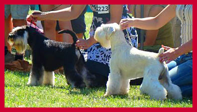 white schnauzer in a show ring