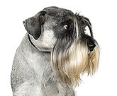 salt and pepper standard schnauzer for Schnauzer Pictures