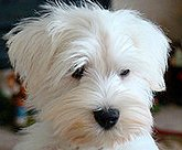 white miniature schnauzer photo