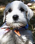 White Miniature Schnauzer Puppy picture
